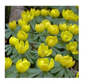 Pièces – 500x Winterling Eranthis Hyemalis Gros Emballage Oignons Tubercules K-ZD92 – Seeds Plants Shop Samenbank Pfullingen Patrik Ipsa