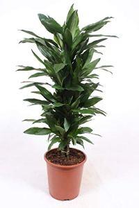 Plante d'intérieur de Botanicly – Dragonnier – Hauteur: 110 cm – Dracaena fragr. Janet Lind