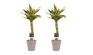 Plantes d'intérieur de Botanicly – 2 × Dragonnier en pot de fleur brun comme un ensemble – Hauteur: 45 cm – Dracaena Sandriana