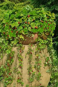 Wild Strawberry Attila Graines – fraisier des bois