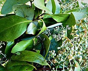 1000 graines d'album Santalum – Bois de santal blanc – Bois de santal indien – Frais d'Inde décembre 2020.