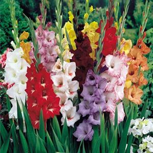 15 x Gladioli Mixed Colours (Tubers) Plant Yourself