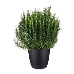 Herbe – Romarin en pot de fleur noir comme un ensemble – Hauteur: 70 cm