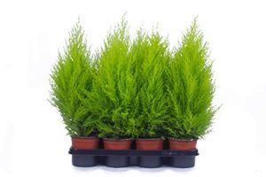 Lot de 8 cyprès de 70 cm – Qualité A1 – Qualité contrôlée – Nos plantes sont déjà pré-enfermées pour vous.