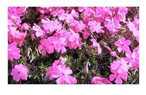 Pcs – 1x Phlox Mac Daniels Coussin Flammenblummen – Pot Jardin Plantes K-P130 – Seeds Plants Shop Samenbank Pfullingen Patrik Ipsa