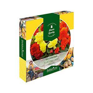 Pizza de Begonia COCOMO   7 bulbes de bégonias   Plante d'extérieur fleurie   Mélange de couleurs   Plante d'extérieur fleurie