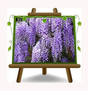 Wisteria Floribunda Macrobotrys glycine Pourpre Clair – Plante grimpante sur pot 17 – hauteur 200 cm