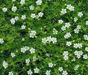 Alick 10pcs graines de mousse irlandaise, Sagina Subulata, graines de fleurs vivaces couvre-sol