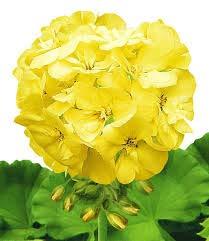 Alick 50 graines de fleurs de géranium jaune.