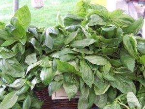 Basile, Réglisse, Rare parfumée au basilic, culinaire aux herbes, 225 graines! Groco