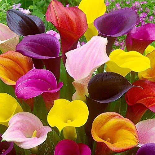 Bulbes à fleurs pour la floraison PRINTEMPS/ÉTÉ/AUTOMNE (5, Arum de Couleur en mélange – Zantedeschia en Mélange)