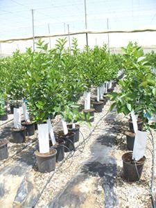 Citrus lima/sapin de citron vert mignon ou sauvage