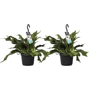 Fougères de Botanicly – 2 × Platicerium – Hauteur: 45 cm
