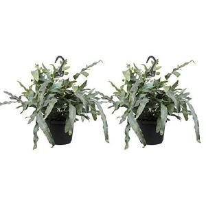 Fougères de Botanicly – 2 × Polypode doré – Hauteur: 40 cm – Phlebodium Blue Star