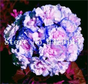 Generic Fresh 100 pcs GRAINES de fleurs de géranium pour plantation Bleu rose