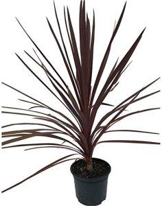 Martin's Nursery 1 Cordyline Australis 'Red Star' Palmier – 30 à 40 cm – 2 l
