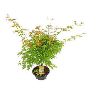 Acer Palmatum KATSURA | Érable du Japon | Arbuste d'ornement | Hauteur 30-40cm | Pot Ø 23cm