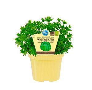 Bio Waldmeister (Galium odoratum), Plantes herbes en culture durable 1 Pflanze im 12cm Topf