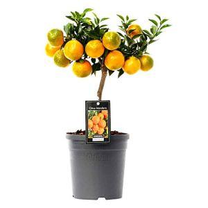 Mandarinier   Citrus Reticulata   Plante d'extérieur   Arbre fruitier   Hauteur 80-85cm   Pot Ø 22cm