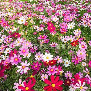 promworld Graines de Plantes,pour Le Jardin Graines,Graine de Fleur Zinnia Cosmos février orchidée Calendula officinalis-Pansy_1kg