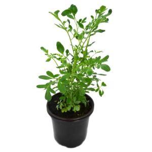 Ruda Mâle 10 cm Route Chalepensis Plante naturelle dans pot