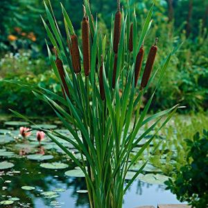 Typha angustifolia | Massette à feuilles étroites | Plante aquatique | Hauteur 20cm | Pot Ø 11cm