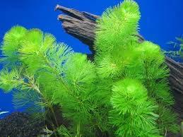 zumari 100 graines de plantes aquatiques Cabomba vertes.