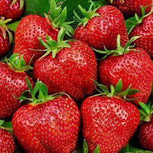10x Fragaria x ananassa ELSANTA | Fraisiers | Arbres fruitiers à planter | Racines nues