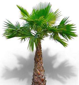 25 graines – WASHINGTONIA ROBUSTA – Palmier résistant
