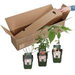 3x Arbres fruitiers bio – Mix SUMMERFRUIT | Figuier, Kiwi, Mûrier | Fruits frais et organiques | Hauteur livraison 30-60 cm | Pot Ø 13cm