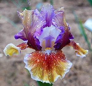 4 Pièces Ampoules Iris Saphir Soie Reblooming Grande Racine De Rhizome Iris Barbu Pour La Plantation De Jardin À La Maison Fleurs Coupées De Jardin Parfumées Et Charmantes