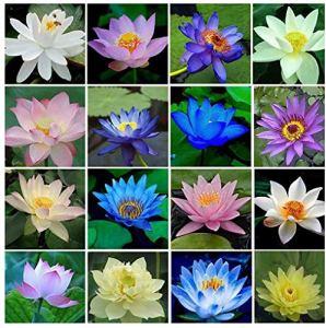 40 pièces/ensemble fleur de lotus graines de lotus plante aquatique belle graine de nénuphar de lotus