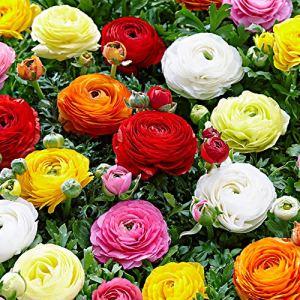 50x Ranunculus asiaticus | Bulbes de Renoncules des fleuristes | Plantes fleuries vivaces | Ø 4-5 cm