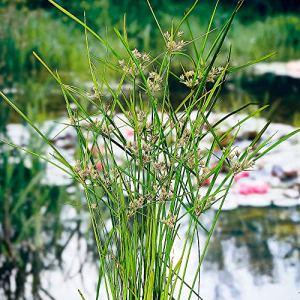 Cyperus alternifolius | Plante ombrelle verte | Plante aquatique | Hauteur 20cm | Pot Ø 9cm