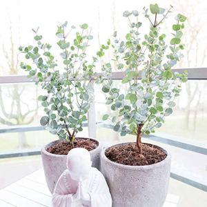 Eucalyptus gunnii Azura | Gommier cidre | Hauteur 20-30cm | Pot Ø 13cm