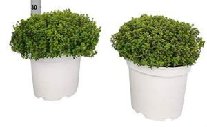 Herbe de Botanicly – Thymus citriodorus – Hauteur: 30 cm