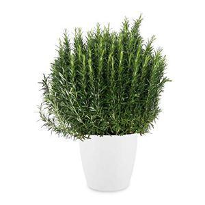 Herbe – Romarin en pot de fleur blanc comme un ensemble – Hauteur: 70 cm