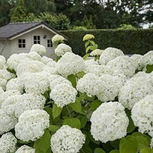 Hydrangea Arborescens STRONG ANABELLE | Hortensia blanc | Arbuste fleuri | Hauteur 25-35cm | Pot Ø 19cm