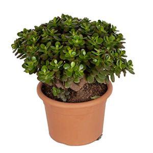 Plante d'intérieur de Botanicly – Arbre de Jade – Hauteur: 40 cm – Crassula Minor Canarias