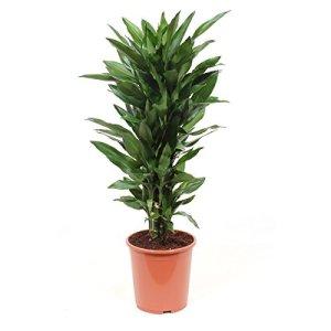 Plante d'intérieur de Botanicly – Dragonnier – Hauteur: 100 cm – Dracaena Janet Lind