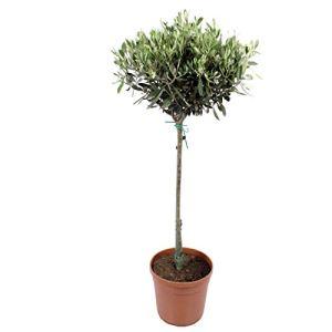 Plante d'intérieur de Botanicly – Olivier – Hauteur: 100 cm – Olea europeae
