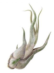 Tillandsia caput-medusae 2 plantes/H 10 cm