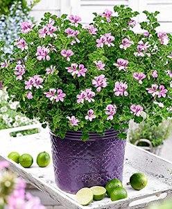3x Pelargonium citrosum QUEEN OF LEMON | Géranium citronnelle à fleurs roses | Arbustes fleuris | Plantes pour terrasse et balcon | Hauteur livraison 17-22cm | Pot Ø 10,5cm