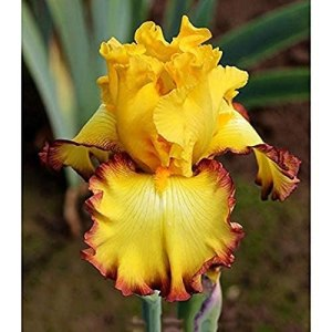 6Pièces Racines/Bulbes D'iris Barbus De Couleurs Mélangées Plantes De Jardin D'ampoules De Fleurs Parfumées Se Multiplient Rapidement Beauté Iris Ampoules Maison Balcon Bonsaï (6 Ampoules)