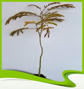 Albizia julibrissin rosea (Arbre à soie) – Plante