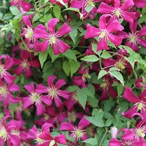 Clématite Clématite Rhizome Plantes d'extérieur naturelles belle Vaut la peine de planter Peut être mis en pot-9 Rhizome
