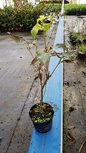 Cornus kousa 'Big Apple' / Cornouiller à grandes fleurs blanches et gros fruits