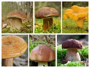 Ensemble de champignons de pin – 6 especes – mycélium – graines