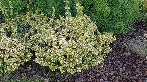 Euonymus fortunei 'Emerald Gold' / Fusain de Fortune 'Emerald Gold'