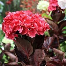 Hortensia Macrophylla merveille sanguine boutonné | 40 CM | Prêt à planter | Livraison Gratuite